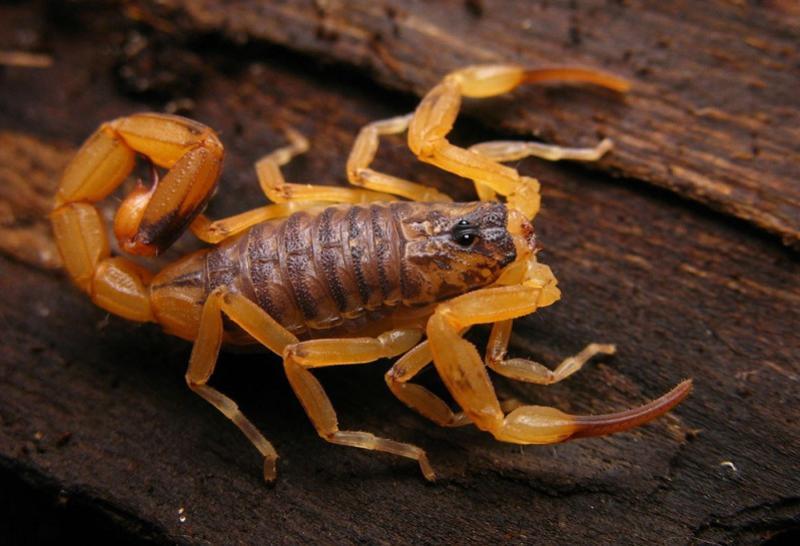 Secretaria de Saúde faz recomendações para evitar acidentes com escorpião amarelo