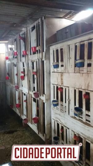 Rinha de galos é fechada pela Polícia Ambiental de Campo Mourão