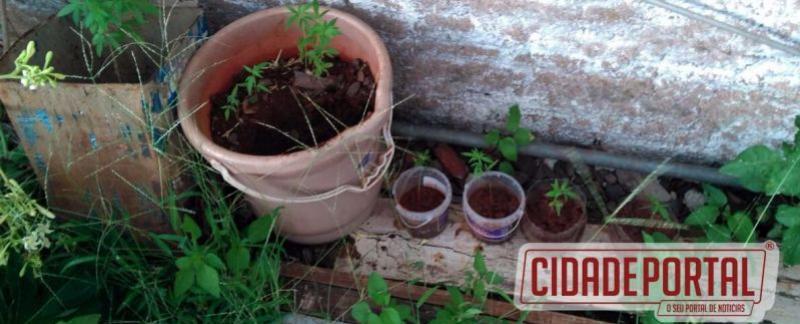 Policia Militar de Ubiratã prende uma pessoa que cultivava maconha em vasos na residência