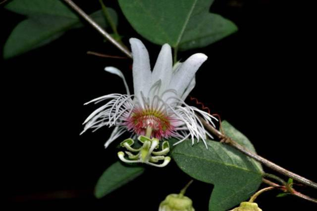 Pesquisadores da Unicentro descobrem nova espécie vegetal de planta medicinal