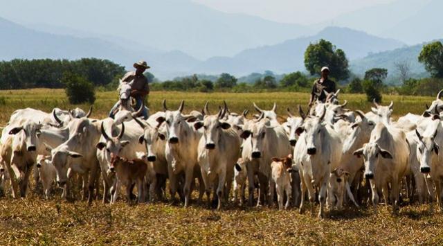 Rebanho bovino tem leve alta em 2019, após dois anos seguidos de quedas
