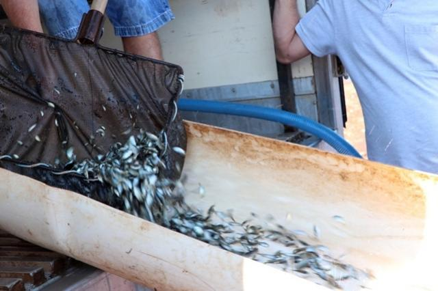 Reservatório do Parque Estadual Lago Azul recebe mais 73 mil peixes