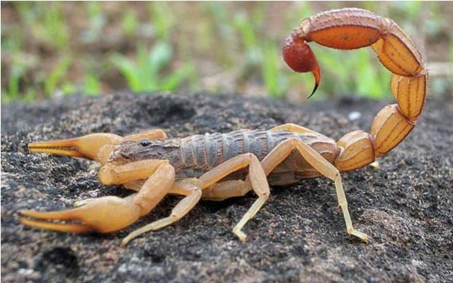 Morre em Maringá criança que foi picada por escorpião