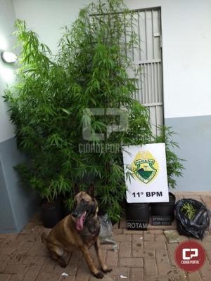 Policiais Militares apreendem plantação de maconha em Campo Mourão