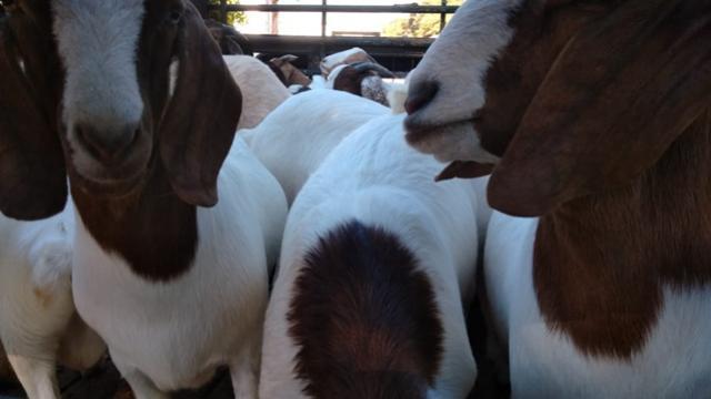 Associação de caprinocultores de Roncador realiza venda de caprinos