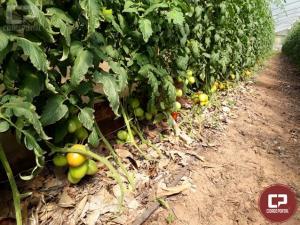 Produzir tomate sem agrotóxico já é realidade em Araruna