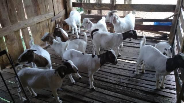 ACOFCAN de Roncador realiza primeira venda coletiva de caprinos