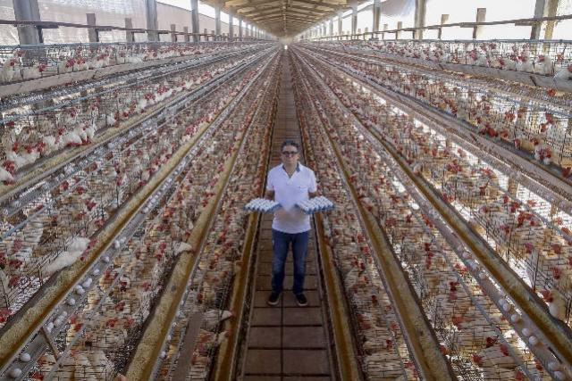 Com tradição e qualidade, Arapongas puxa a produção de ovos no Paraná