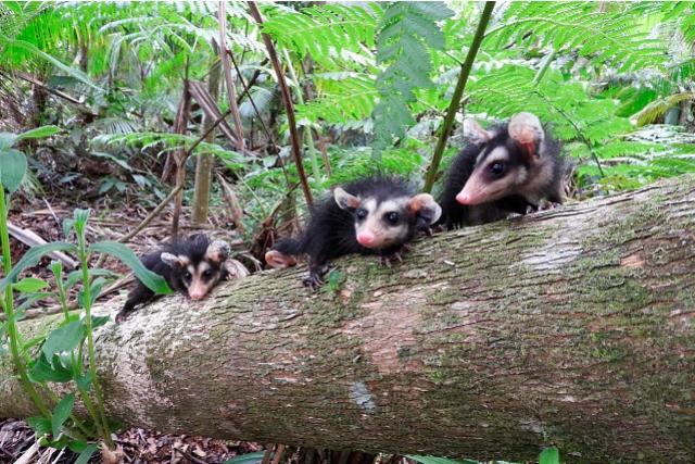IAT reabilita filhotes de gambás para soltura no Litoral