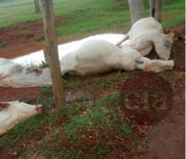 Raio mata 14 cabeças de bovinos em São Manoel do Paraná