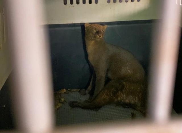 Gato-mourisco machucado é resgatado em Mariluz