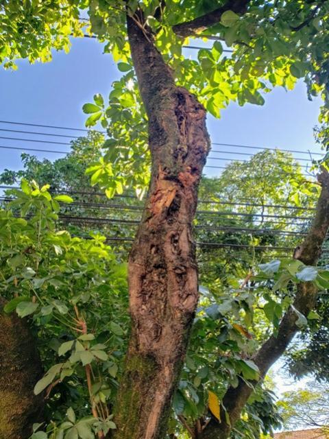 Árvores da Av. Paraná terão poda drástica para recuperação em Umuarama