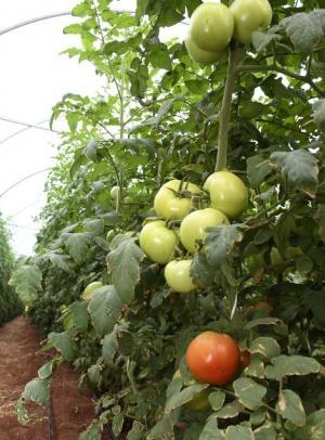 Produtor de tomate obtém alta produtividade plantando em estufa, com apoio da Prefeitura