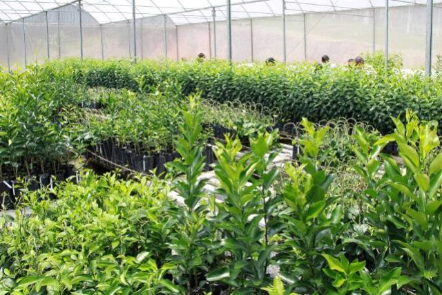 Produtores de Cerro Azul participam de pesquisa sobre melhoramento genético da ponkan