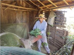 Janiópolis - Uso de mandioca Raiz e ramas na alimentação animal