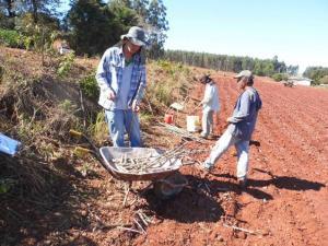 Novo projeto de avaliação de cultivares de mandioca é instalado em Janiópolis