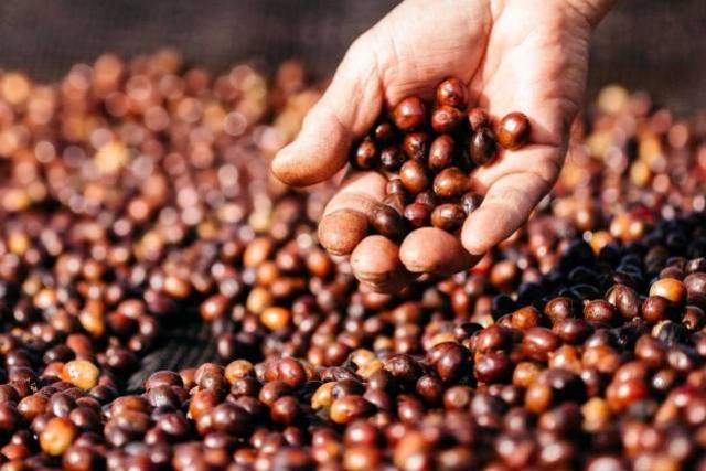 Concurso Café Qualidade inclui grãos fermentados na edição 2021