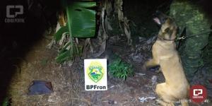 BPFron apreende quinze plantas de maconha em Capanema