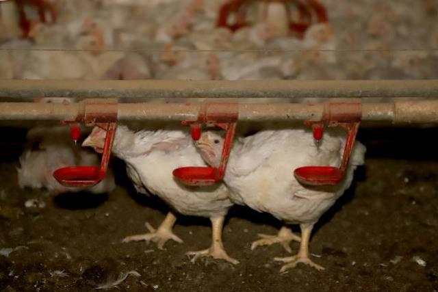 Toledo é carro-chefe do sucesso da produção de carne de frango no Paraná