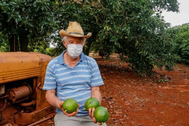 Abacate conquista o lugar do café no Vale do Ivaí e no Norte do Paraná