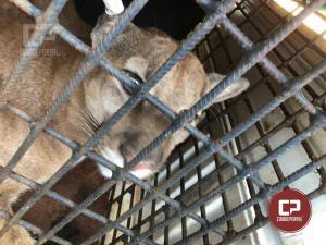 Polícia Ambiental de Umuarama captura um Puma em Xambrê e solta no Parque Nacional Ilha Grande