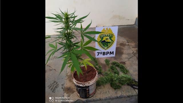 PM apreende cultivo de maconha em Tapira e prende homem com mandado de prisão aberto em Cruzeiro do Oeste