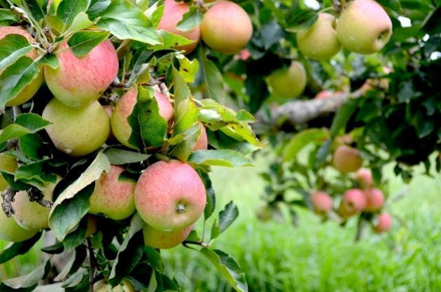 Safra da maçã de Palmas deve ser de 13 mil toneladas em 2018