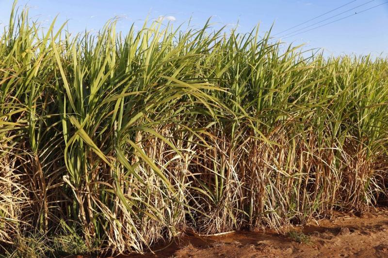 Paraná suspende por 30 dias queimada de cana-de-açúcar