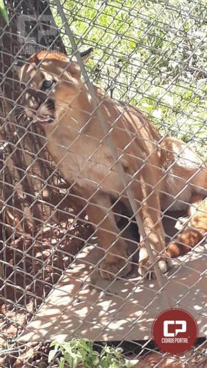 Polícia Ambiental e IAP realizaram a soltura de uma Onça Puma Fêmea em Altônia