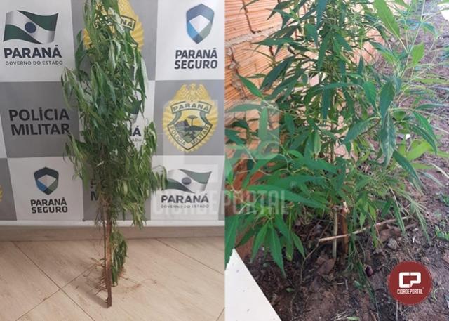 Através de denúncia anônima, Polícia Militar apreende dois pés de maconha em Moreira Sales